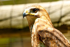 Brown Eagle in Addo. Just looking for food The Brown Eagle Royalty Free Stock Images