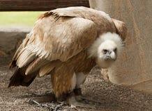 Brown eagle in a captivity. Stock Photos