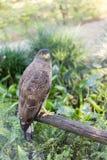 Brown Eagle che si siede sul ceppo Fotografie Stock