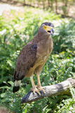 Brown Eagle che si siede sul ceppo Immagini Stock Libere da Diritti