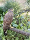 Brown Eagle, das auf dem Klotz sitzt Stockfotografie