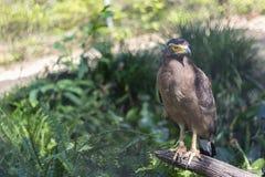 Brown Eagle, das auf dem Klotz sitzt Stockbild