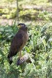 Brown Eagle, das auf dem Klotz sitzt Stockfoto