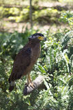 Brown Eagle, das auf dem Klotz sitzt Stockfotos