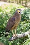 Brown Eagle, das auf dem Klotz sitzt Lizenzfreie Stockbilder