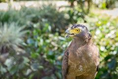 Brown Eagle, das auf dem Klotz sitzt Lizenzfreie Stockfotos