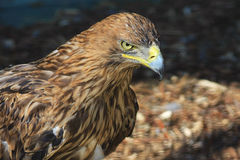Brown eagle, falcon Royalty Free Stock Photos