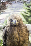 Brown eagle Royalty Free Stock Photography