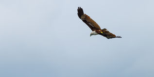 Brown Eagle Royalty Free Stock Photos