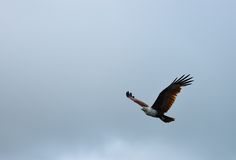 Brown Eagle. A brown eagle flying in the sky, langkawi island, Malaysia stock photos
