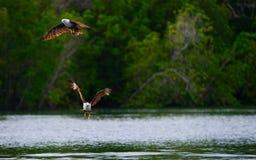 Brown Eagle Stock Image