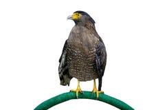 Brown Eagle lokalisiert auf Weiß Stockbilder