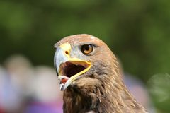Brown  Eagle with open beak and tongue out Stock Photo