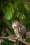 Brown eagle owl Stock Photos