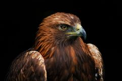 Brown eagle portrait. Portrait of brown eagle with black background Stock Photography