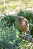 Brown Eagle se reposant sur le rondin Photos libres de droits
