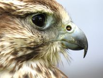 Brown Eagle Side View Camera Shot Stock Photos