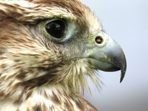 Brown Eagle Side View Camera Shot Stock Photography