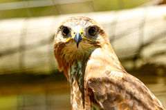 Brown Eagle Stare. The great Brown Eagle looking at us Royalty Free Stock Photography