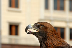 Brown Eagle on street Royalty Free Stock Photos