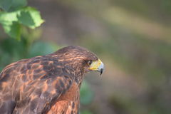 Brown Eagle. An wonderful Eagle in the middle of Nature Royalty Free Stock Image