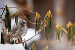 Brown-Eared Bulbul. Adult Brown-Eared Bulbul Perched in Bush Royalty Free Stock Photo