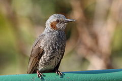 Brown-eared Bulbul Royalty Free Stock Photos