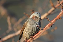 Brown-eared Bulbul Royalty Free Stock Images