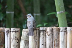Brown-eared Bulbul Stock Photography
