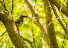 Brown-eared bulbul perched on a tree branch. With green leaves blurred out in the background Stock Photography