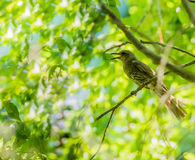 Brown-eared bulbul perched on a tree branch. With green leaves blurred out in the background Royalty Free Stock Photos
