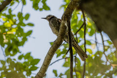 Brown-eared bulbul perched on a tree branch. With green leaves blurred out in the background Royalty Free Stock Photo