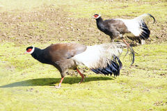 Brown Eared Pheasant Royalty Free Stock Photography