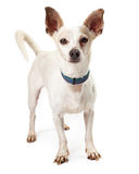 Brown Eared White Small Dog Standing. Looking into the camera Stock Photos