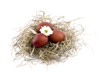 Brown easter eggs and oxeye daisy in nest on white Stock Photography