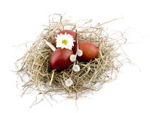 Brown easter eggs and oxeye daisy in nest on white Stock Photos