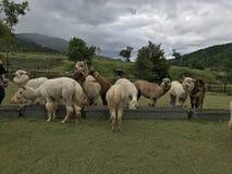 Brown ed alpaga bianca che mangiano erba in zoo aperto Immagine Stock Libera da Diritti