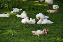 Brown ed anatra bianca che si siedono nell'erba su un'azienda agricola Fotografie Stock Libere da Diritti
