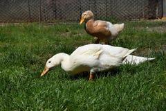 Brown ed anatra bianca nell'erba su un'azienda agricola Fotografia Stock