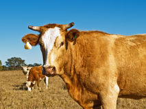 Brown ed australiano bianco dei bovini da carne allevati Immagini Stock