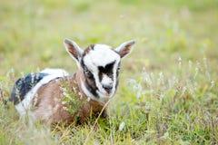 Brown ed il bambino bianco scherzano la capra che risiede nel recinto chiuso erboso Fotografia Stock
