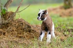 Brown ed il bambino bianco scherzano la capra in recinto chiuso erboso immagine stock