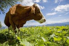 Brown ed il bianco flecked le mucche nelle alpi europee Fotografia Stock Libera da Diritti