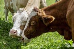 Brown ed il bianco flecked le mucche nelle alpi europee Immagini Stock Libere da Diritti