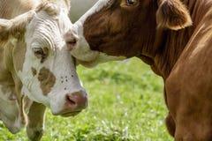 Brown ed il bianco flecked le mucche nelle alpi europee Immagine Stock
