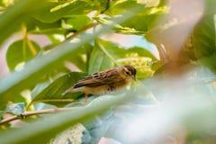 Brown ed uccello tropicale giallo che fissano fuori attraverso i rami di un albero nella serra tropicale a Frederik Meijer Garden immagine stock libera da diritti