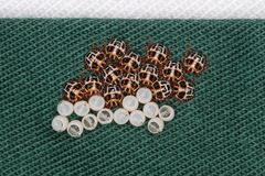 Brown egg marmorated stink bug hatchlings at Stick. On the shirt stock photos