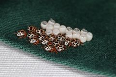 Brown egg marmorated stink bug hatchlings at Stick. On the shirt stock images