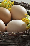 Brown eggs in a  brushwood nest. Royalty Free Stock Photo