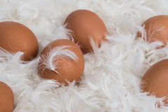 Brown eggs on pile of white feathers, one egg with Stock Image